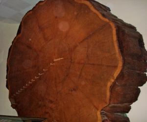 Section of a giant red wood tree.