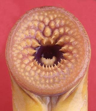 Lampreys, Vegans, and Other Natural Disasters (3/6)